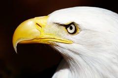 Olho de águia Foto de Stock