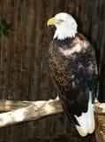 Olho de águia Fotografia de Stock