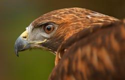 Olho de águia dourada com asa Fotografia de Stock Royalty Free
