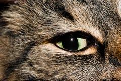 Olho de gato Fotografia de Stock Royalty Free