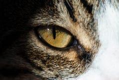 Olho de gato Fotografia de Stock