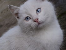 Olho de gato branco Imagens de Stock Royalty Free