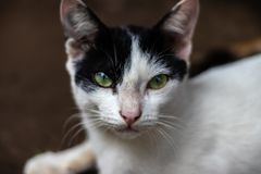 Olho de gato preto e branco imagem de stock royalty free