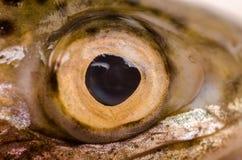Olho de peixes fotografia de stock