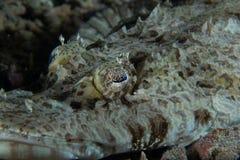 Olho de peixes do crocodilo Fotos de Stock