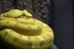 Olho de serpente Foto de Stock Royalty Free