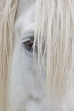 Olho de um cavalo de esboço de Percheron Fotografia de Stock Royalty Free