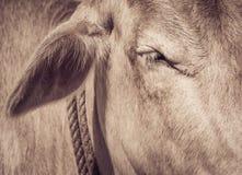 Olho de um fim da vaca acima Imagens de Stock