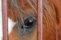 Olho de um fim marrom do cavalo acima Foto de Stock