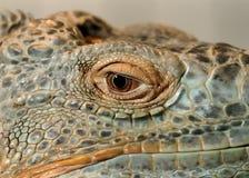 Olho de uma iguana verde imagem de stock royalty free