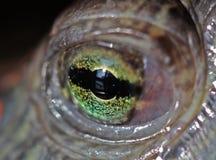 Olho de uma tartaruga. Imagem de Stock