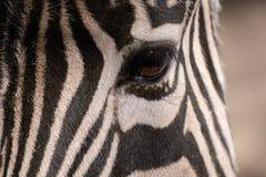 Olho de uma zebra e de listras na obscuridade imagem de stock