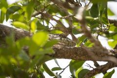 Olho do camaleão em um ramo de árvore Fotos de Stock Royalty Free