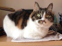 OLHO DO CAT NO TEBLE Fotos de Stock