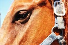Olho do cavalo Imagens de Stock Royalty Free