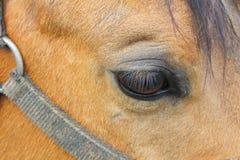 Olho do cavalo, foto macro foto de stock