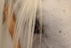 Olho do cavalo velho de Kladruber Imagens de Stock Royalty Free