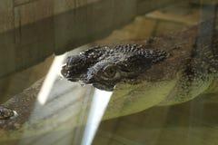 Olho do crocodilo Foto de Stock
