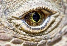 Olho do dragão de Komodo Imagem de Stock Royalty Free