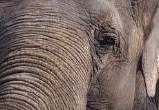 Olho do elefante Foto de Stock