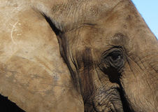 Olho do elefante Imagens de Stock Royalty Free