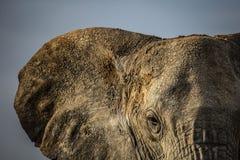 Olho do elefante Imagem de Stock Royalty Free