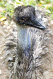 Olho do Emu do close up Foto de Stock Royalty Free