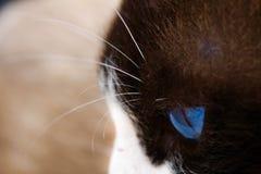 Olho do gato imagem de stock royalty free