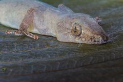 Olho do lagarto e do close-up principal imagem de stock royalty free