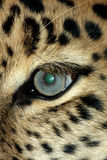 Olho do leopardo Foto de Stock Royalty Free