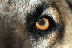Olho do lobo - Normal Imagens de Stock