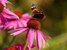 Olho do pavão da borboleta Fotografia de Stock