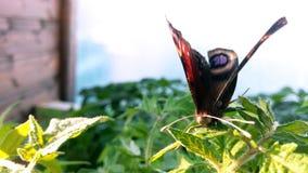 Olho do pavão da borboleta Fotografia de Stock Royalty Free