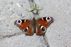Olho do pavão da borboleta Fotos de Stock