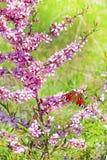 Olho do pavão da borboleta (Inachis latino io) Fotografia de Stock Royalty Free