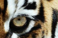 Olho do tigre Imagem de Stock Royalty Free
