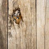 Olho do tigre no furo de madeira Foto de Stock Royalty Free
