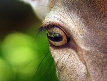 Olho dos cervos imagens de stock royalty free