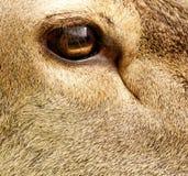 Olho dos cervos de Brown Fotografia de Stock