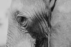 Olho dos elefantes fotografia de stock