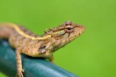 Olho dos lagartos Imagens de Stock