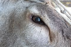 Olho dos veados vermelhos Fotos de Stock