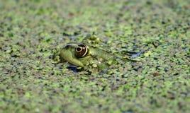 Olho dourado: Rã. Rã do rio. Imagem de Stock