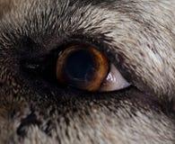 Olho esquerdo do cão pastor caucasiano Imagens de Stock