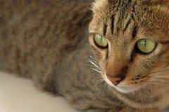 Olho grande da cara do gato Imagem de Stock