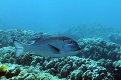 Olho grande Emperorfish Fotografia de Stock Royalty Free