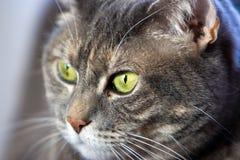 Olho verde do gato Imagens de Stock