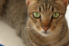 Olho verde grande da cara do gato Fotos de Stock Royalty Free