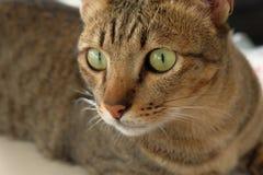 Olho verde grande da cara do gato Imagens de Stock