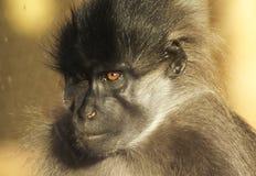 Olhos alaranjados do whit da cara do macaco fotos de stock royalty free